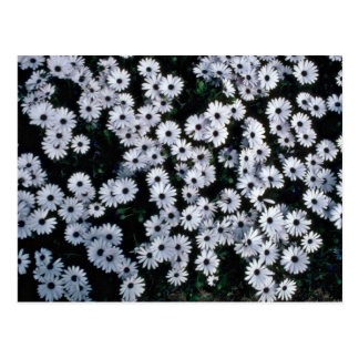 Black-Eyed White Daisies flowers Postcard