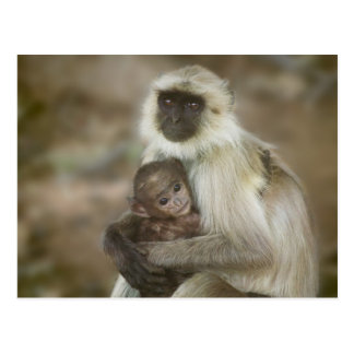 Black-face Langurs mother with baby in Post Cards