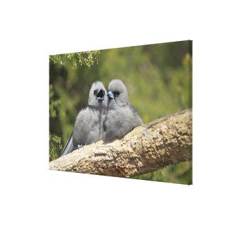 Black Faced Woodswallow, Artamus cinereus, Canvas Print