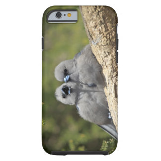 Black Faced Woodswallow, Artamus cinereus, Tough iPhone 6 Case