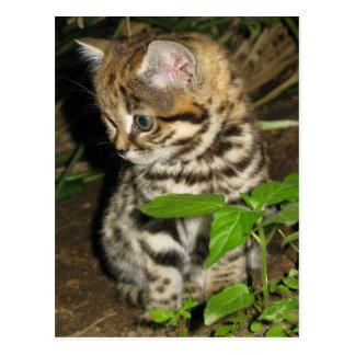 Black footed cat postcard