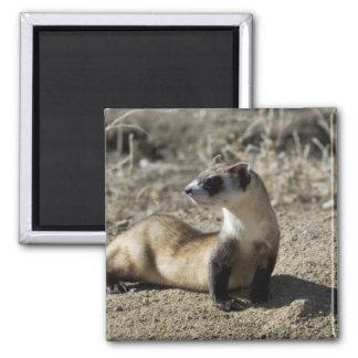 Black-Footed Ferret (captive) Square Magnet