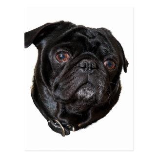 Black Funny Pug Postcard