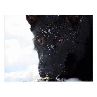 Black German Shepherd Postcard