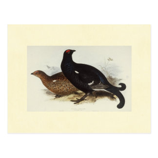 Black Grouse Postcard
