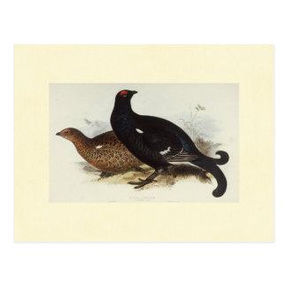 Black Grouse Postcard