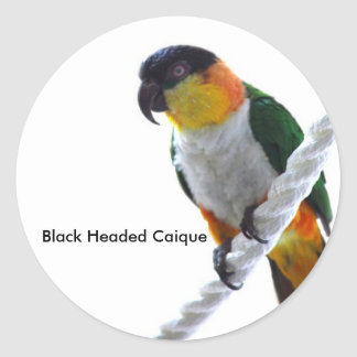 Black Headed Caique Sticker