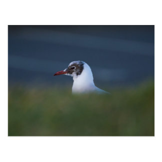 Black-headed Gull Postcard