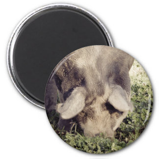 Black Hog Pig Rooting in Grass Magnet