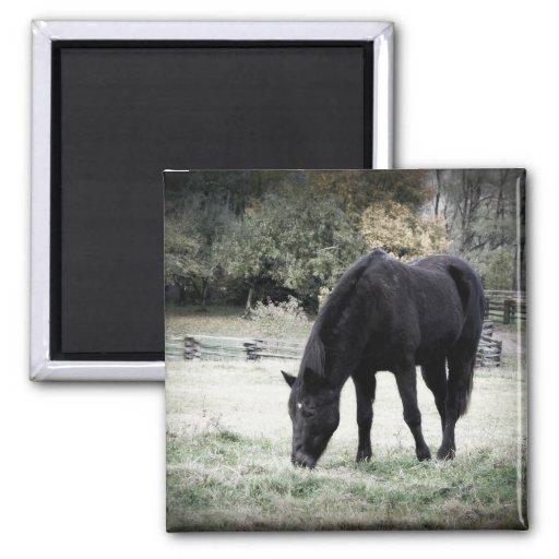 Black Horse Grazing on Farm Field Photograph Magnets