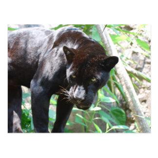 Black Jaguar Postcard