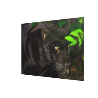 Black Jaguar Prowling Canvas Print