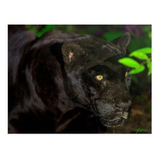 Black Jaguar Prowling Postcard