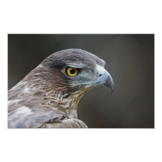 Black Kite Bird Poster
