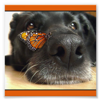 BLack Lab Dog With Butterfly Photograph