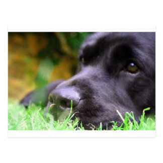 black lab postcard