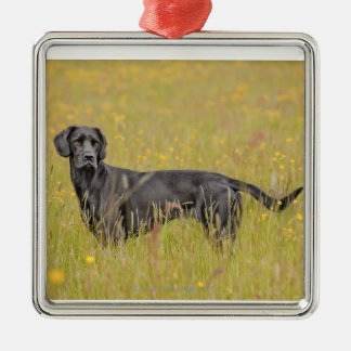 Black labrador 16 Months 2 Christmas Ornament