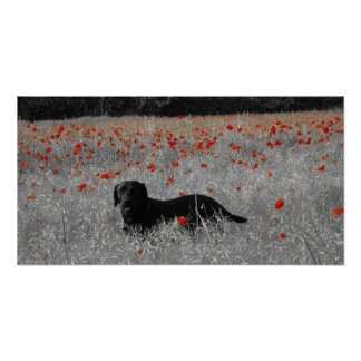 Black Labrador among the poppies Poster