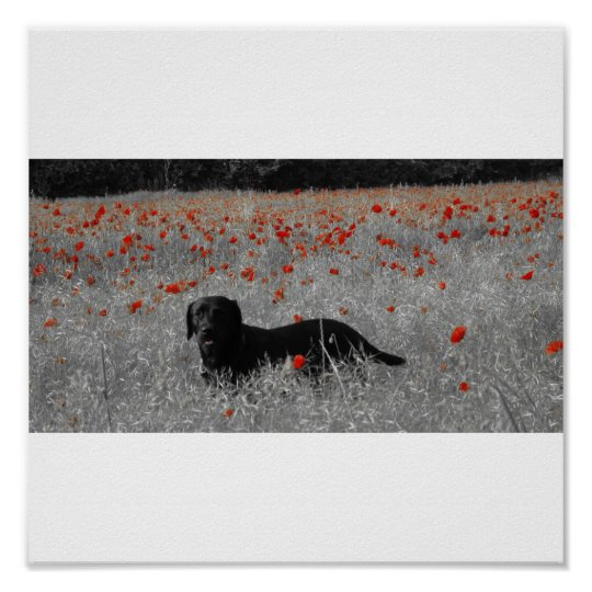 Black Labrador among the poppies print