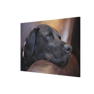 Black labrador asleep on sofa, close-up canvas print