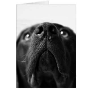 Black Labrador nose up close Card
