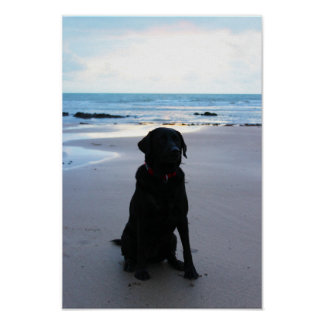 Black Labrador on a beach Poster