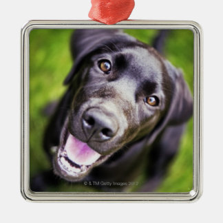 Black labrador puppy looking upwards, close-up christmas ornament