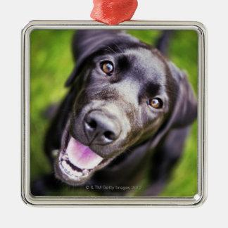 Black labrador puppy looking upwards, close-up christmas ornament