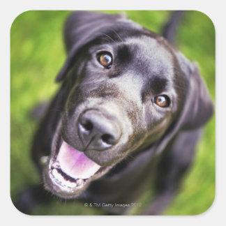 Black labrador puppy looking upwards, close-up square sticker