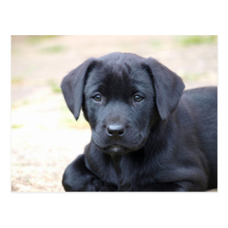 Black Labrador Puppy Postcard