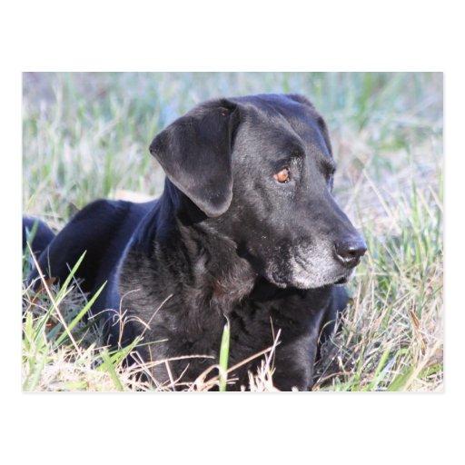 Black Labrador Retriever Post Card