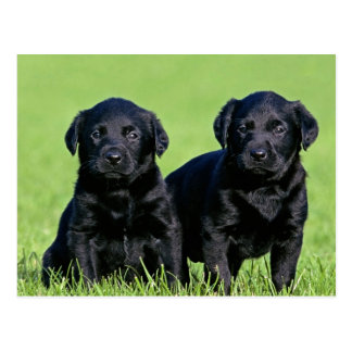 Black Labrador Retriever Puppy Dog Postcard