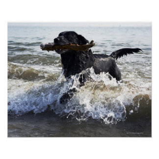 Black Labrador retriever running through surf Poster