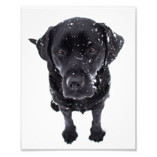 Black Labrador - Snow Dog Photo Print