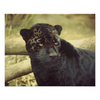 Black Leopard in the Wild Poster