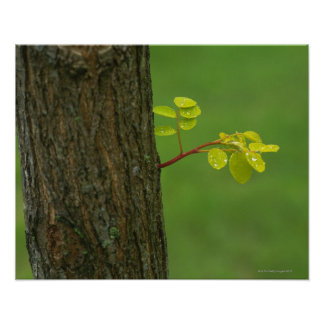 Black locust tree growing a new branch poster