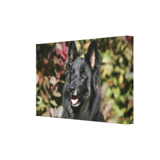 Black Long Haired German Shepherd Gallery Wrapped Canvas