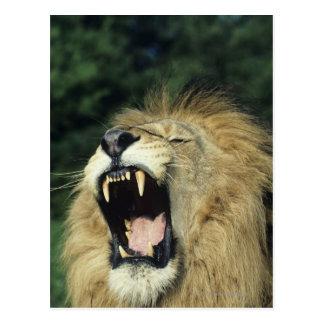 Black-maned male African lion yawning, headshot, Postcard