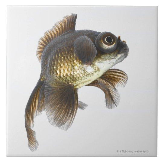 Black moor goldfish (Carassius auratus) 2 Large Square