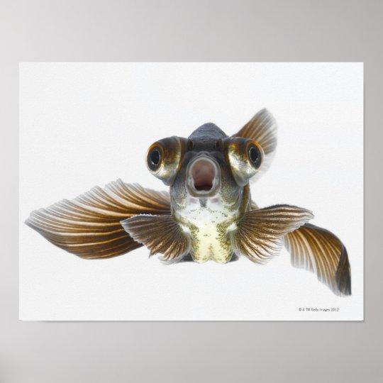 Black moor goldfish (Carassius auratus) 2 Poster