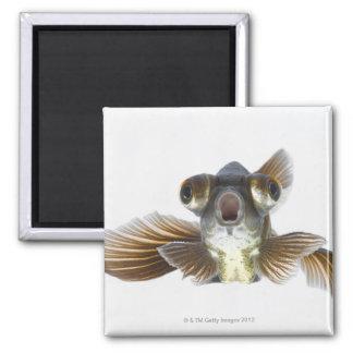 Black moor goldfish (Carassius auratus) Square Magnet