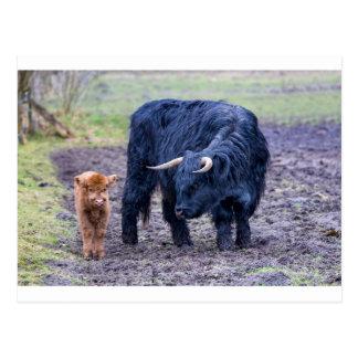Black mother scottish highlander cow postcard