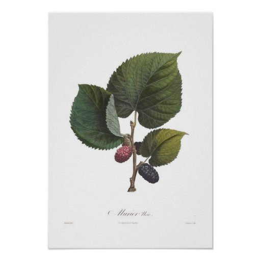 Black Mulberry Poster