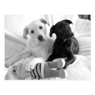 black n white puppies postcard