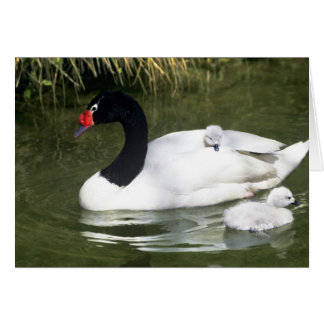Black-necked swan adult and cygnets in water. card