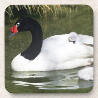 Black-necked swan adult and cygnets in water. coaster