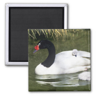 Black-necked swan adult and cygnets in water. magnet