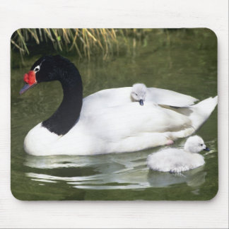 Black-necked swan adult and cygnets in water. mouse mat