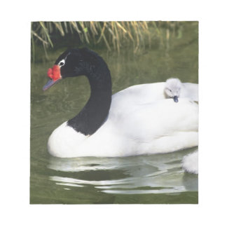 Black-necked swan adult and cygnets in water. notepad