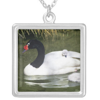 Black-necked swan adult and cygnets in water. silver plated necklace